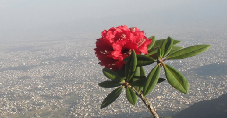 National flower of Nepal- Rhododendron, from shivapuri national park ; background: Kathmandu Valley